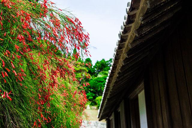 为冲绳的庭院增添色彩的花丁子